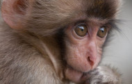 See the Snow Monkeys! Stay for Happy Feet! Animal Planet Spotlights Baby Animals Born in the Coldest Places on Earth in SNOW BABIES, March 27