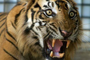 Eye of the Tiger: MAN-EATING TIGERS OF SUMATRA Premieres June 19 on Animal Planet