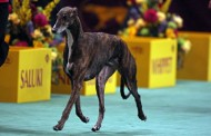 The 2014 WESTMINSTER KENNEL CLUB DOG SHOW Premieres LIVE Feb. 10 and 11 on Discovery World