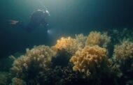 """""""Living dinosaurs"""" off the coast of B.C.? World Broadcast Premiere of MOONLESS OASIS, a stunning new film and discovery by Vancouver filmmakers Nate Slaco and Bryce Zimmerman"""